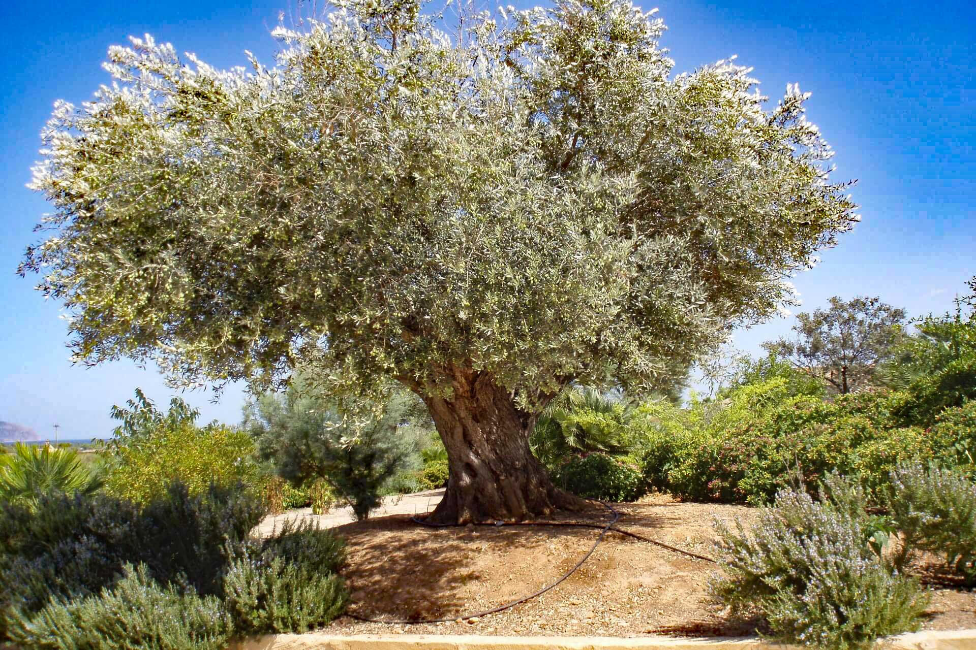 Finca Palmitos I - Olive tree